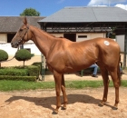 Glory Power - Listed wining filly purchased for Meadow Court Stud partnership at Arqana in 2012 by Brian Grassick Bloodstock